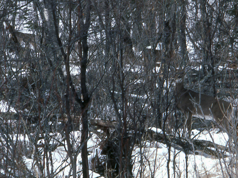 A group of whitetails in heavy cover. They are all intently watching the hunter.