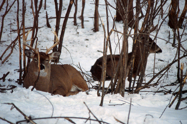 Two large bucks bedding in snow, just yards from each other, surrounded by antler rubs.