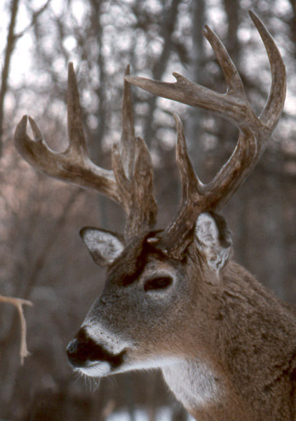 A Big, Smart Old Buck!