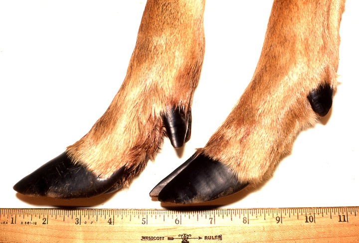 Photo front and rear whitetail buck hooves next to a ruler.