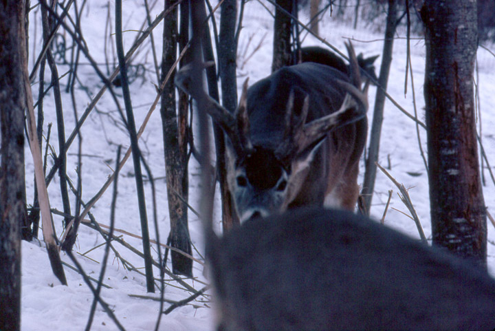 A whitetail buck sniffing a whitetail doe that is in heat, in estrus.