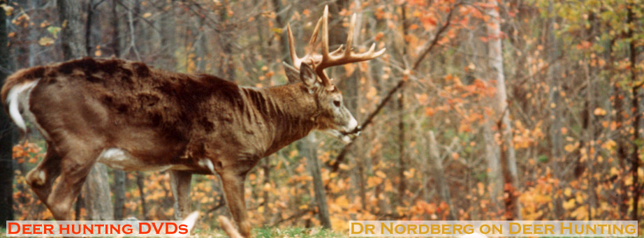 A classic photo of a big buck with all of the characteristics of a dominant breeding buck.