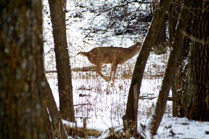 A whitetail buck ground scrape in the snow.