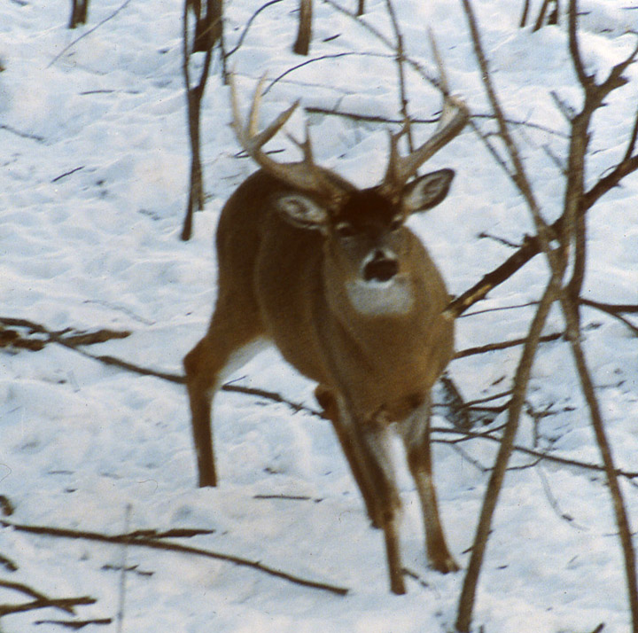 A whitetailed buck that has just stomped his front right hoof.