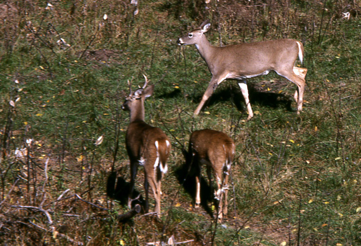 Three whitetail deer. Two are in Stage 2 alarm. Their heads are up, looking in the direction of possible danger, their ears are back. A third deer is feeding, still oblivious to possible danger.