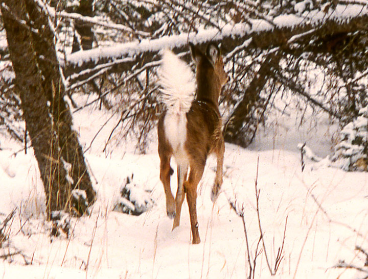 A whitetailed doe bounding away in Stage 4 alarm. Her tail is up, fully fanned. The tarsal glands inside her rear knees are erect.