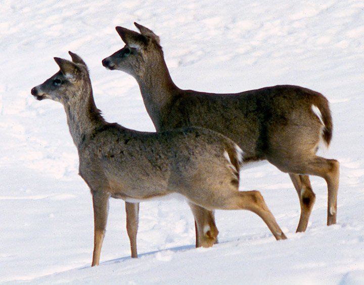 Two whitetailed deer in the first stage of alarm, staring into the distance.
